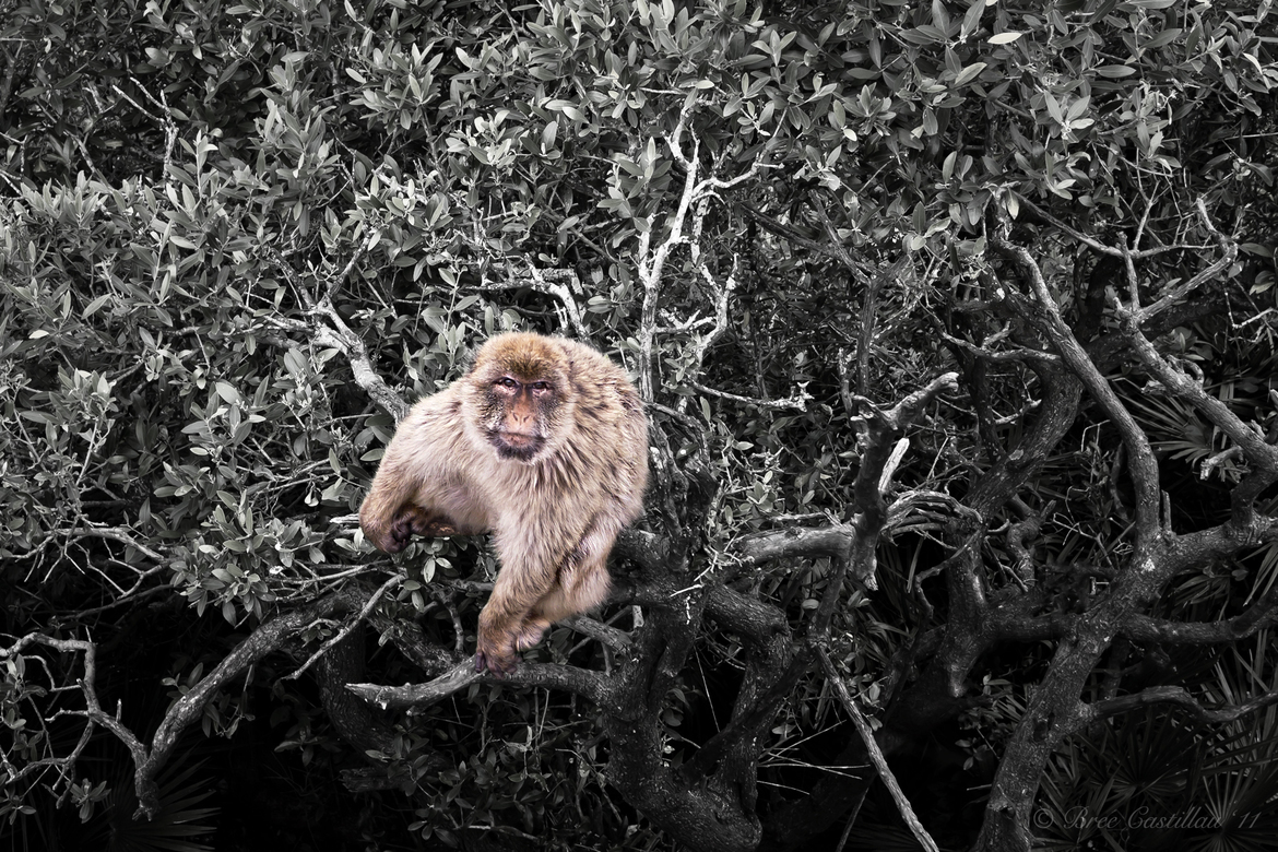 Barbary Macaque , Gibraltar Nature Reserve, Upper Rock, Gibraltar