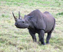 black rhino, black rhino photos, rhinoceros, black rhinoceros, African rhino, African safari, African wildlife, Tanzania, Tanzania wildlife, Tanzania rhinos