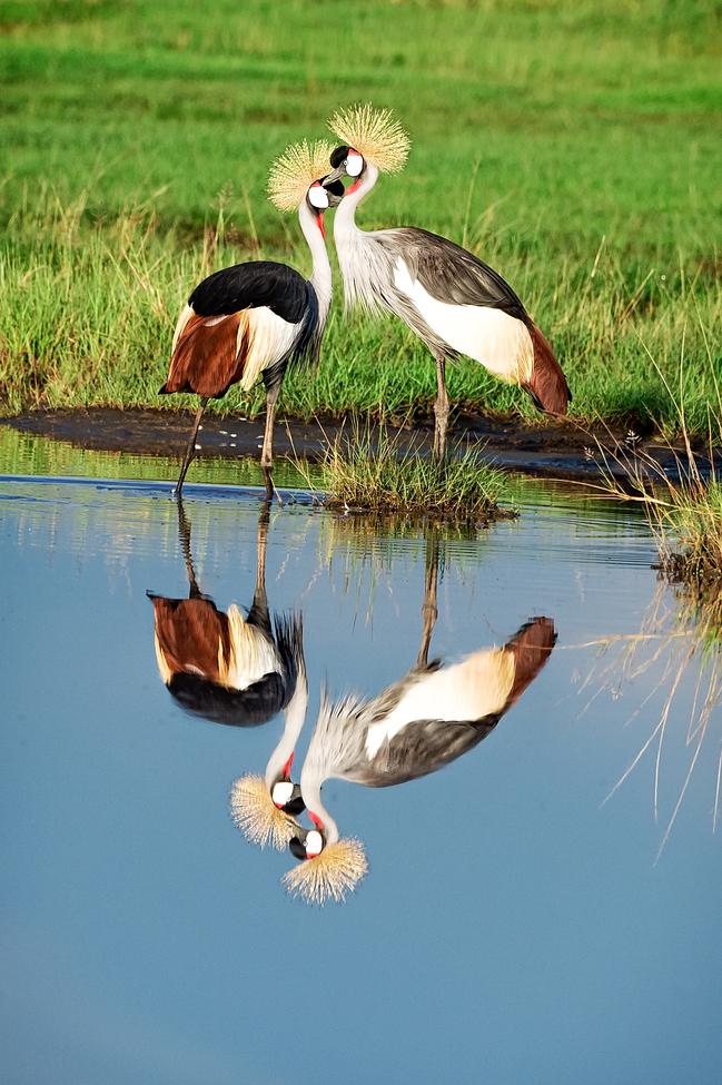 crowned crane, crowned crane photos, crowned crane in tanzania, tanzania wildlife, tanzania wildlife photos, africa safari, africa bird, tanzania birds, serengeti national park, serengeti wildlife