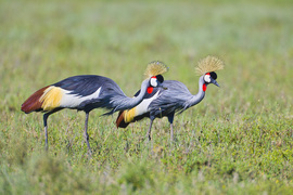 Grey crowned cranes, serengeti, tanzania, Africa, African safari, Africa photography
