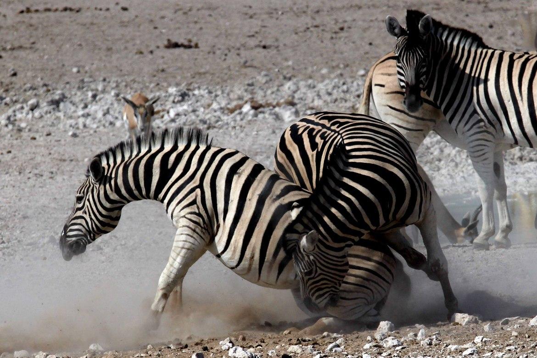 zebra, zebra images, zebra photos, namibia wildlife, namibia wildlife images, namibia wildlife photos, zebras in namibia, african safari wildlife, namibia safari wildlife, namibia safari wildlife photos, Etosha National Park, Etosha National Park wildlife