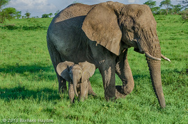 Grid baby elephant with mom 1
