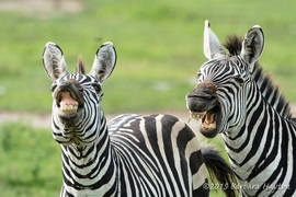 Grid laughing zebras 1