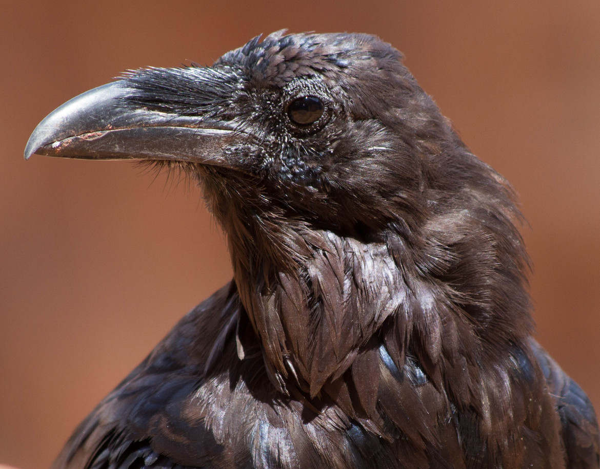 raven, raven photos, ravens in the US, Canyonlands National Park, Canyonlands National Park photos, Canyonlands National Park wildlife, birds in the US, ravens in the US