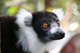 Black and white ruffed lemur, lemur, Madagascar, Ranomafana National Park, Africa, Africa photography, Madagascar images, lemur photography