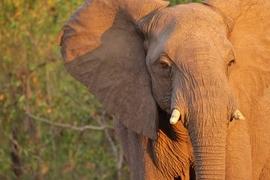 elephant, african elephant, elephant photos, african elephant photos, Botswana wildlife, Botswana wildlife photos, africa wildlife photos, africa wildlife, african safari photos, Chobe wildlife, Chobe wildlife photos, Chobe National Park