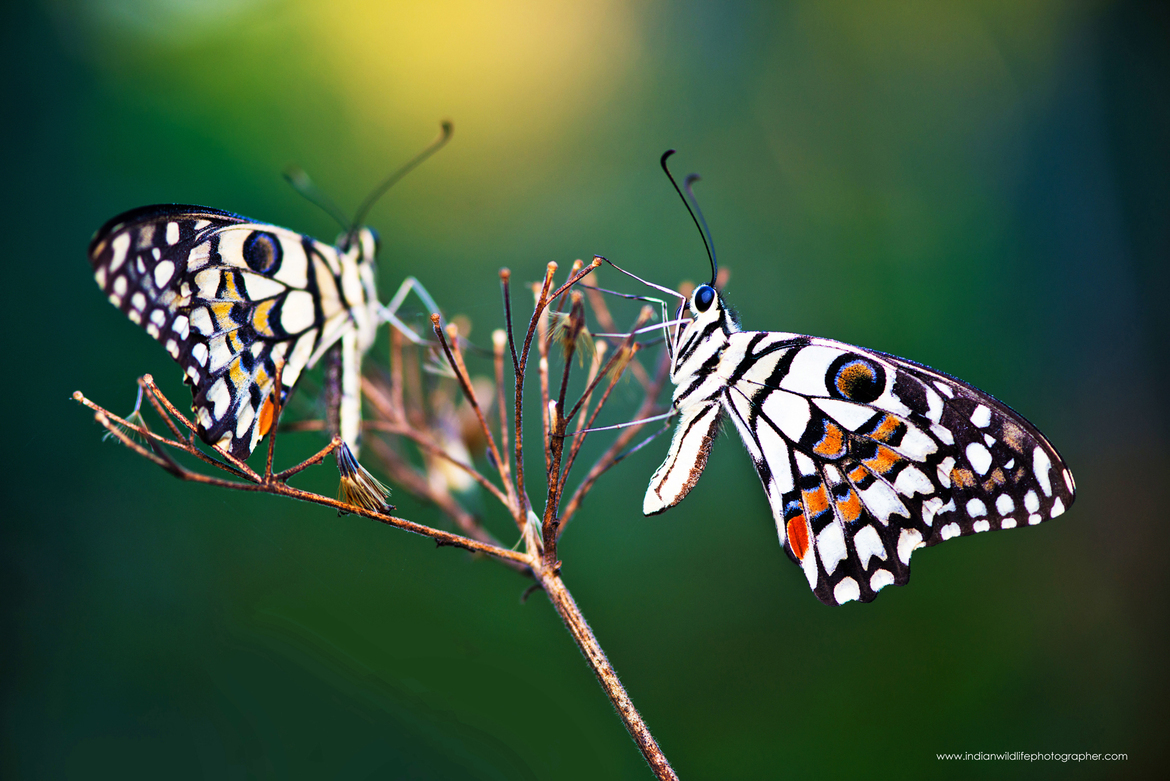 butterfly, common lime, lime swallowtail, butterfly photos, common lime photos, lime swallowtail photos, India wildlife, India butterflies, India insects