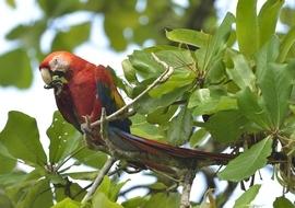 scarlet macaw, scarlet macaw photos, costa rica birds, costa rica macaws, corcovado park, costa rica wildlife photos