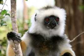 lemurs, madagascar, African safaris, lemur photography