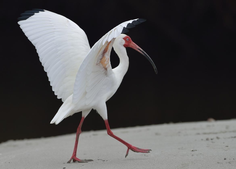 white ibis, white ibis photos, ibis, ibis photos, Costa Rica wildlife, Costa Rica birds, Manuel Antonio Park, Manuel Antonio wildlife photos