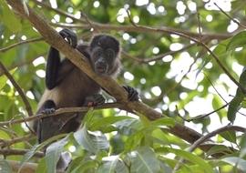 Grid cr579sol mantled howler monkey