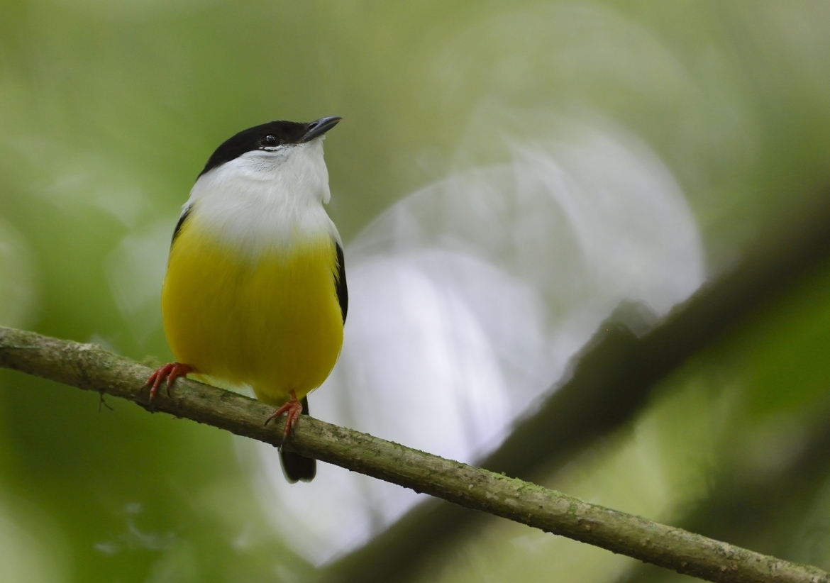 white-collared manakin, white-collared manakin photos, Costa Rica wildlife, Costa Rica birds, Arenal Hanging Bridges, Arenal wildlife