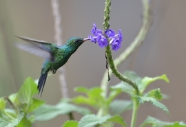 humming bird, humming bird images, humming bird photos, costa rica wildlife, costa rica birds, Canivet's Emerald, Canivet's Emerald photos, Poas Volcano National Park, costa rica widlife photos
