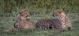 Cheetah, cheetah cub, cheetah cub photos, Tanzania, Tanzania wildlife, Tanzania safari images, cheetah images, cheetah photos, Tanzania images, Tanzania photos, serengeti, serengeti photos