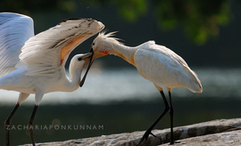 spoonbill, spoonbill photos, birds of India, Ranganathittu Bird Sanctuary, Ranganathittu Bird Sanctuary wildlife, Ranganathittu Bird Sanctuary photos, India wildlife