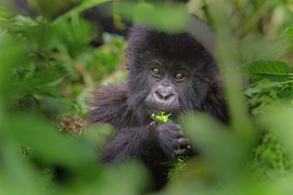 baby gorilla, primates, Rwanda, African safari photography