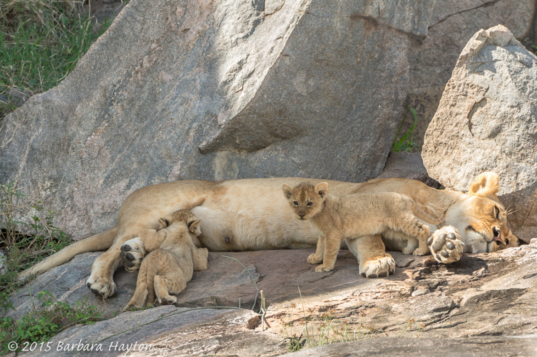 lion, lion photos, lion cub photos, tanzania wildlife, tanzania wildlife photos, africa wildlife, africa wildlife photos, lions in tanzania, tanzania safari, tanzania safari photos, africa safari, africa safari photo, serengeti national park, nursing lion