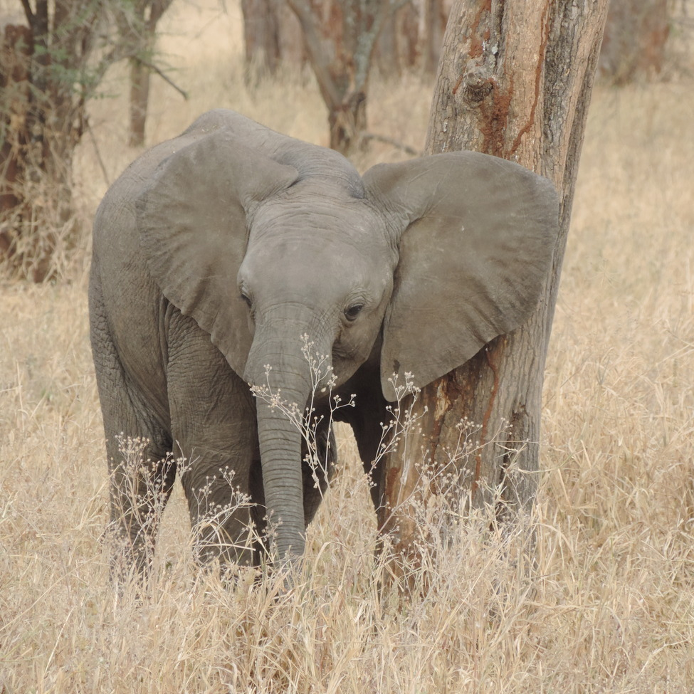 elephant, african elephant, elephant photos, african elephant photos, Tanzania wildlife, Tanzania wildlife photos, africa wildlife photos, africa wildlife, african safari photos, Serengeti National Park wildlife, Serenget wildlife photos