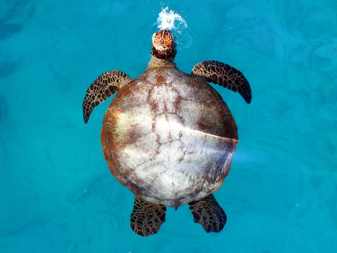 turtle, loggerhead turtle, turtle photos, loggerhead turtle photos, australia wildlife, australia wildlife photos, heron island wildlife, heron island wildlife photos, great barrier reef turtles, great barrier reef