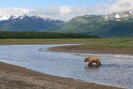 grizzly bear, brown bear, grizzly photos, brown bear photos, alaska wildlife, alaska bears, alaska wildlife photos, alaska bear photos, united states wildlife, united states wildlife photos, Hallo Bay, Hallo Bay wildlife