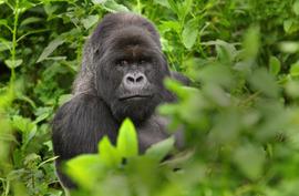 rwanda, mountain gorilla, gorilla trekking, silverback, Arican safaris