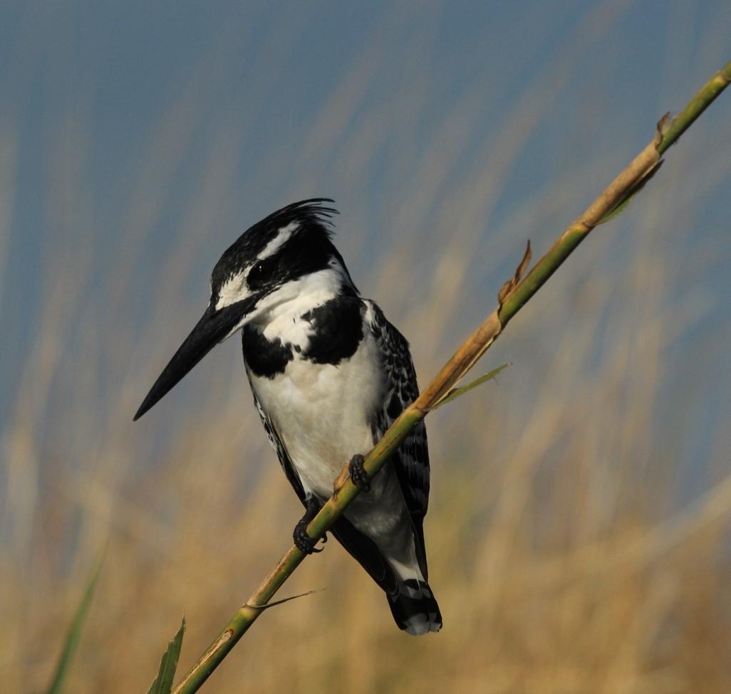 pied kingfisher, pied kingfisher photos, kingfisher, Botswana wildlife, Botswana birding, Botswana safari photos, Africa safari photos, Okavango Delta wildlife, Okavango Delta wildlife photos