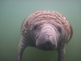 manatee, manatee photos, Florida marine life, Florida wildlife, Chrystal River, Chrystal River wildlife
