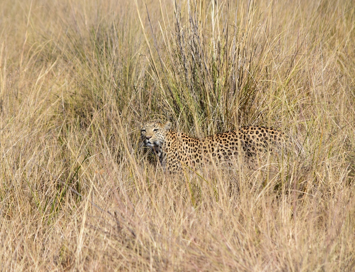 leopard, leopard photos, leopard images, botswana wildlife, botswana wildlife photos, botswana safari, botswana safari photos, african safari photos, african cats, leopards in africa, leopards in botswana