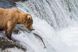 brown bear, grizzly bear, brown bear photos, grizzly bear images, grizzly fishing, Katmai National Park, Katmai National Park wildlife, united states wildlife photos, Alaska wildlife, Alaska bears, Alaska photos, Brooks Falls