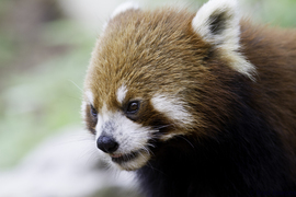red panda, red panda photos, pandas in China, wild red pandas, Chengdu Panda Base, Chengdu