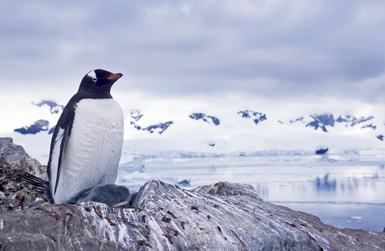 penguins, gentoo penguin, gentoo penguin photos, penguin photos, penguin images, antarctica wildlife, penguins in antarctica
