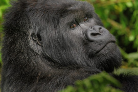 Mountain gorilla, Rwanada, Africa, Africa photography, gorilla photography