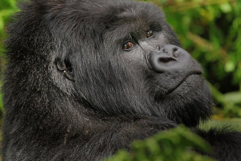 Mountain gorilla, Rwanada, Africa, Africa photography, gorilla photography