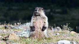 marmot, marmot photos, hoary marmot, Australia wildlife, marmots in Australia, Victoria, Voctoria wildlife
