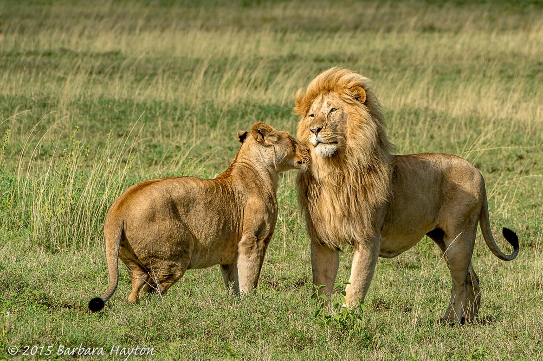 lion, male lion, female lion, lion photos, lions in tanzania, Tanzania wildlife, Serengeti National Park, Serengeti wildlife, lions in the Serengeti