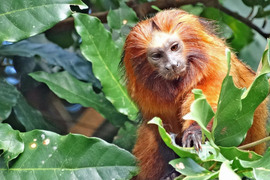 golden lion tamarin, golden lion tamarin photos, Brazil wildlife, Brazil wildlife photos, primates in Brazil, atlantic coastal forest, atlantic coastal forest wildlife