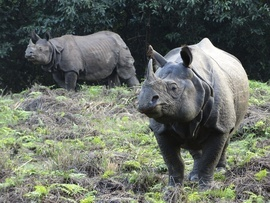 asian rhino, asian rhino photos, rhino photos, Nepal wildlife, rhinos in Nepal,
