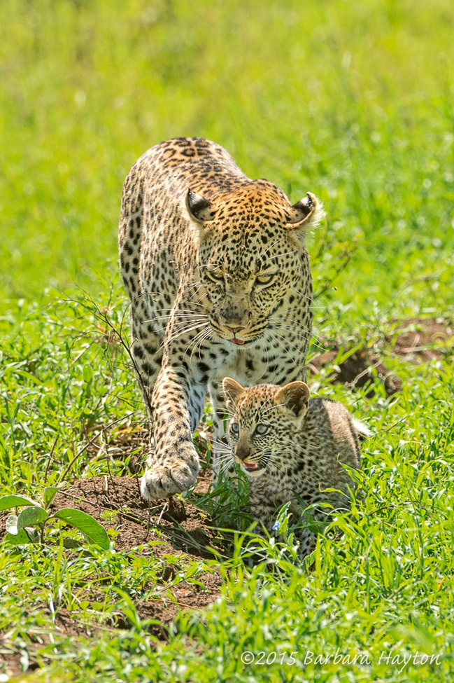 leopard, leopard photos, leopard cub, leopard cub photos, leopard images, tanzania wildlife, tanzania wildlife photos, tanzania safari, tanzania safari photos, african safari photos, african cats, leopards in africa, leopards in tanzania