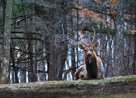elk, bull elk, elk photos, bull elk photos, Pennsylvania wildlife, united states wildlife