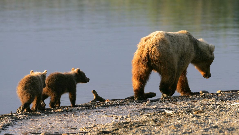 Grizzly, grizzly cub. bear cub, Alaska photography, Katmai, grizzly photography, grizzly images, grizzly pictures, Alaska photography