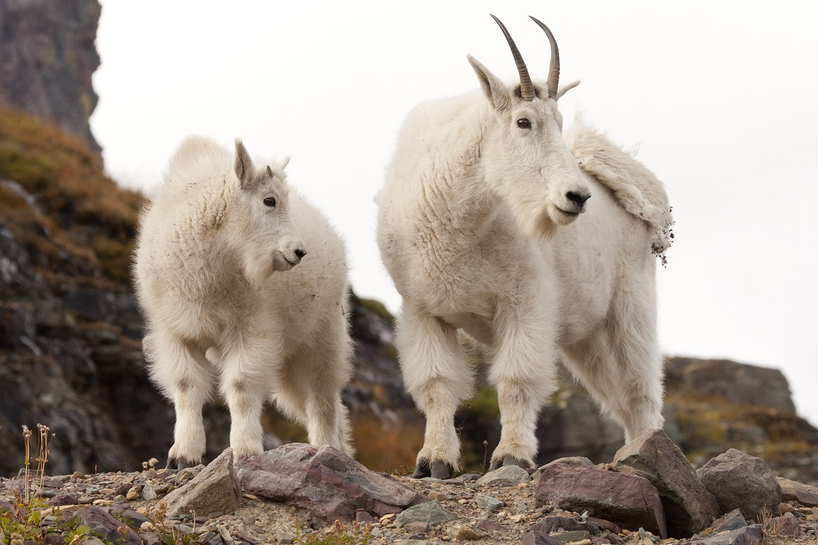 mountain goat, rocky mountain wildlife, mountain goats in glacier national park, glacier national park wildlife photos, united states wildlife, united states wildlife photos