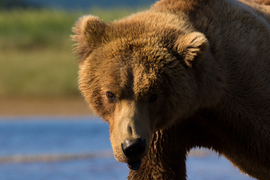 brown bear, grizzly bear, brown bear photos, grizzly bear images, Hallo Bay, Hallo Bay wildlife, united states wildlife photos, Alaska wildlife, Alaska bears, Alaska photos