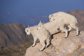 mountain goat, rocky mountain wildlife, mountain goats in colorado, colorado wildlife, rocky mountain wildlife photos, colorado wildlife photos, united states wildlife, united states wildlife photos, Colorado wildlife, Mount Evans, Mount Evans wildlife