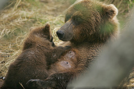 Brown bear, grozzly, bear cub, grizzly photography, brown bear photography, Katmai National Park, Alaska photography