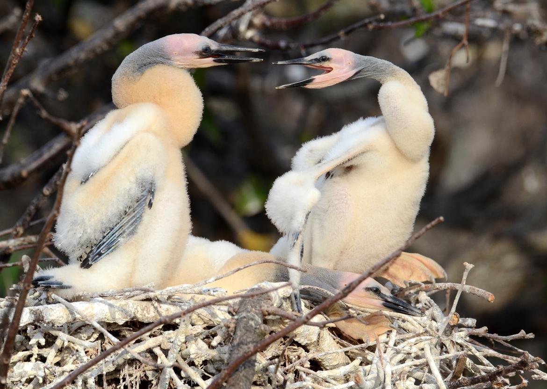 Anhinga, Anhinga photos, Anhinga in Florida, Anhinga chicks, birds in Florida, birds in the US