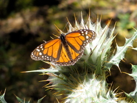 monarch butterfly, monarch butterfly photos, Mexico wildlife, monarchs in Mexico, El Rosario wildlife, monarch migration