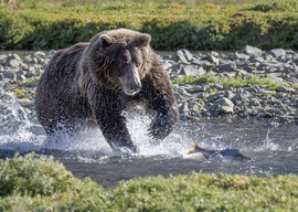 brown bear, grizzly bear, brown bear photos, grizzly bear images, grizzly fishing, Katmai National Park, Katmai National Park wildlife, united states wildlife photos, Alaska wildlife, Alaska bears, Alaska photos