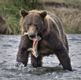 grizzly bear, brown bear, grizzly photos, brown bear photos, alaska wildlife, alaska bears, alaska wildlife photos, alaska bear photos, united states wildlife, united states wildlife photos, katmai, katmai national park, salmon fishing, grizzly fishing