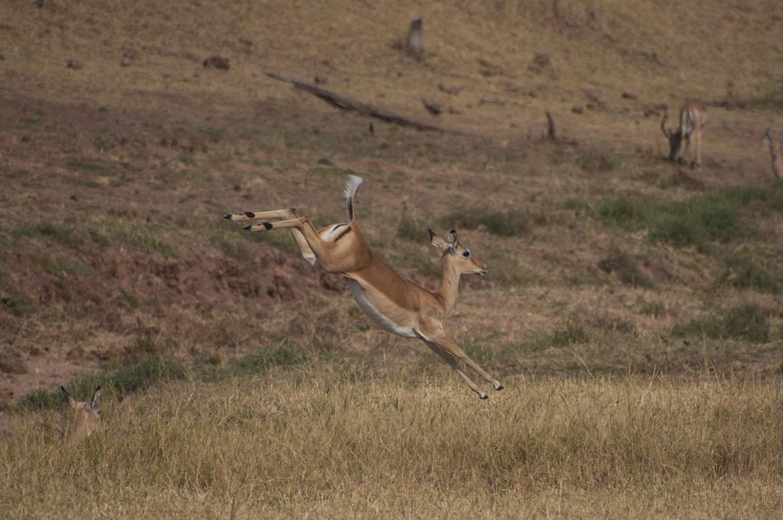 impala, impala photos, wild impala, impala in Africa, impala in Zimbabwe, Africa safari, Zimbabwe safari, Zimbabwe wildlife, Matusadona National Park, Matusadona National Park wildlife, Africa wildlife, Africa antelope