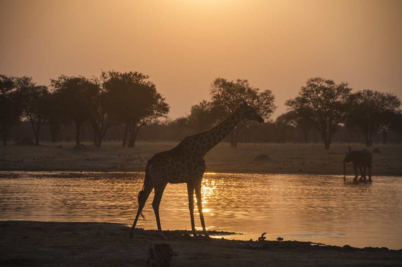 giraffe, giraffe photos, giraffe images, kenya wildlife, kenya wildlife photos, african safari photos, giraffes in kenya, Hwange National Park, Hwange wildlife, elephant photos, elephants in Kenya, sunset in Kenya
